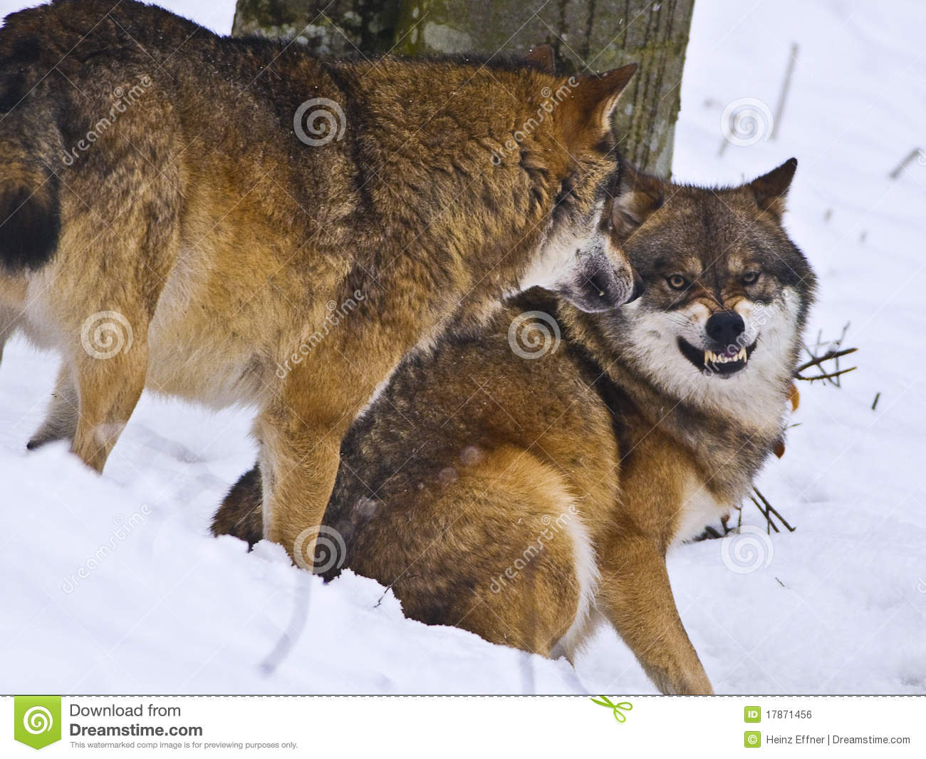 Snarling Wolf Stock Photo. Image Of Teeth, Mammal, Outside