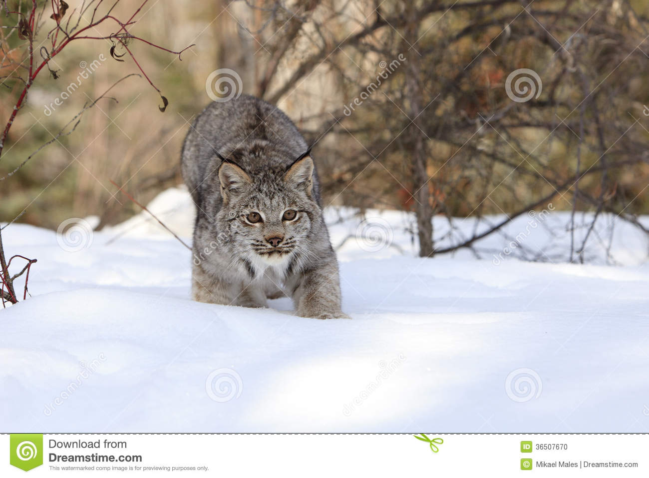 Bobcat in stealth mode hunting prey in snow in mountains