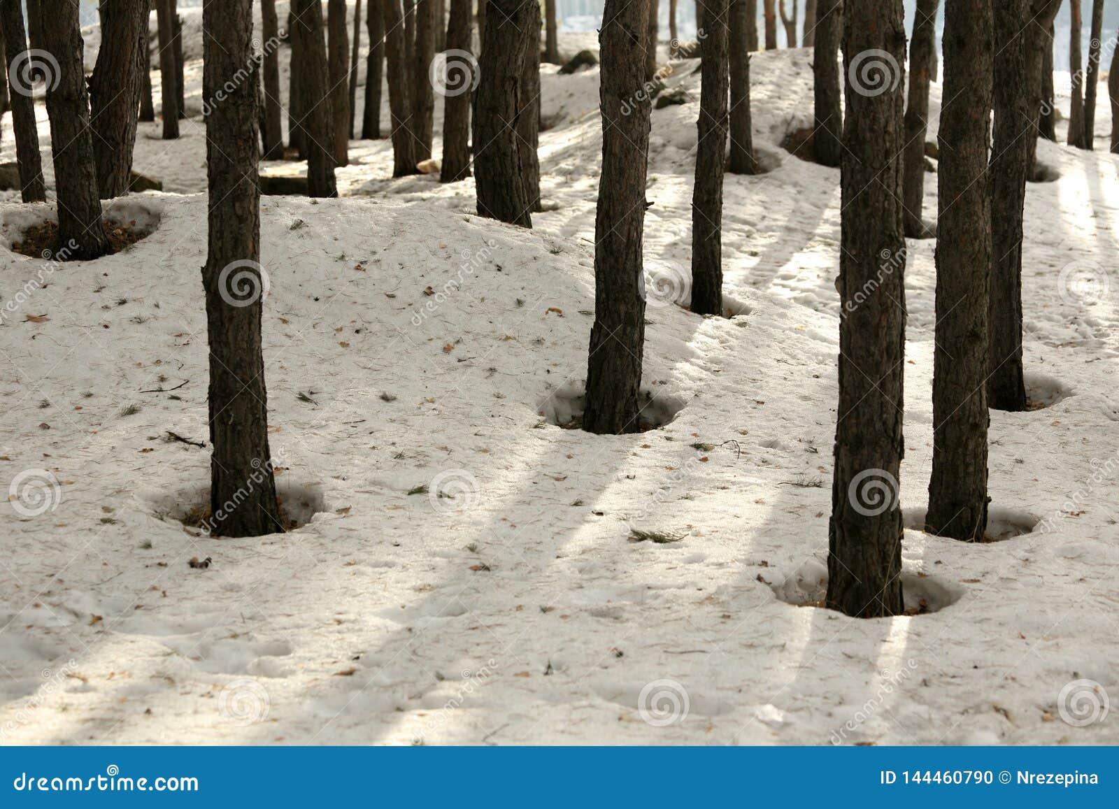 Sneeuw in een pijnboombos in de lente