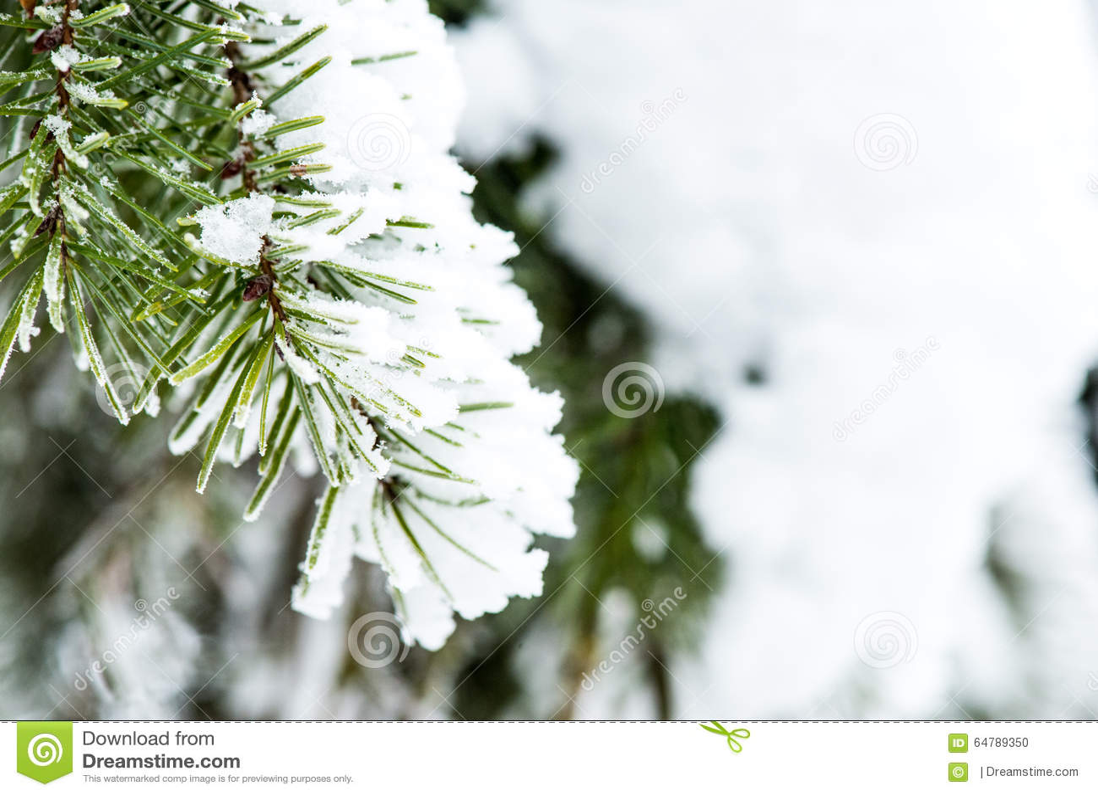 Sneeuw op Pijnboomnaalden die wordt verzameld