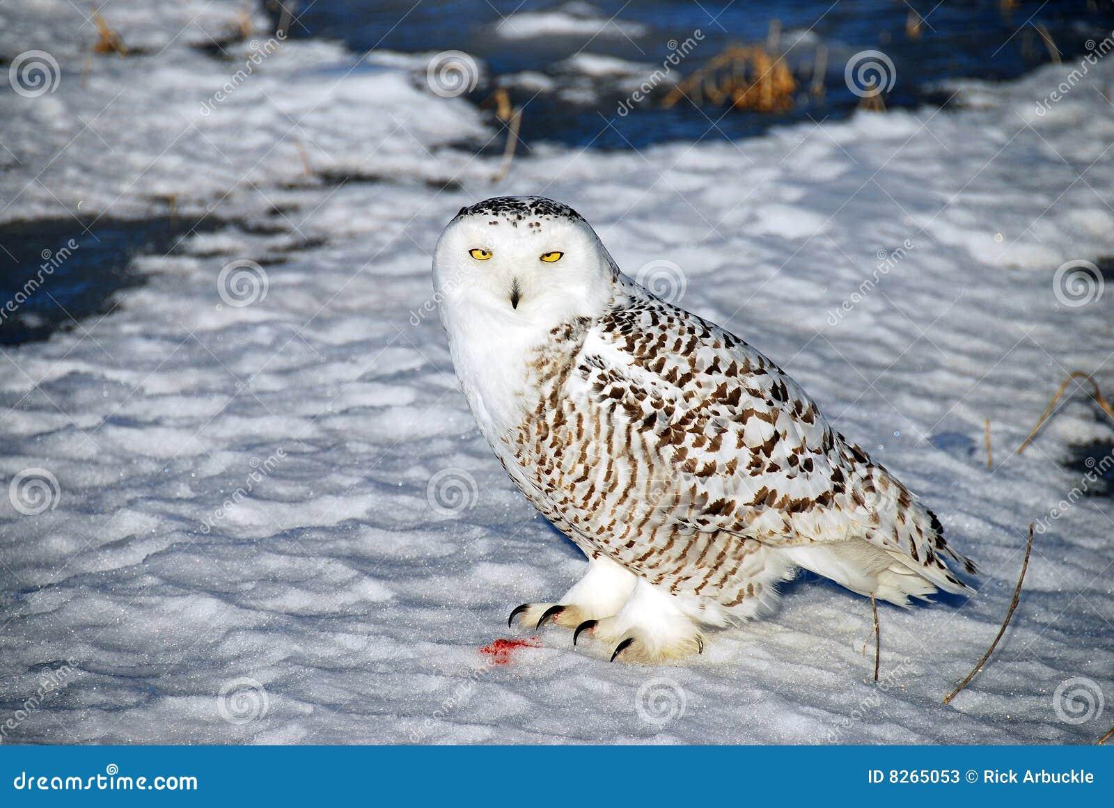 sneeuw uil onbeweeglijk stock foto s afbeelding 8265053