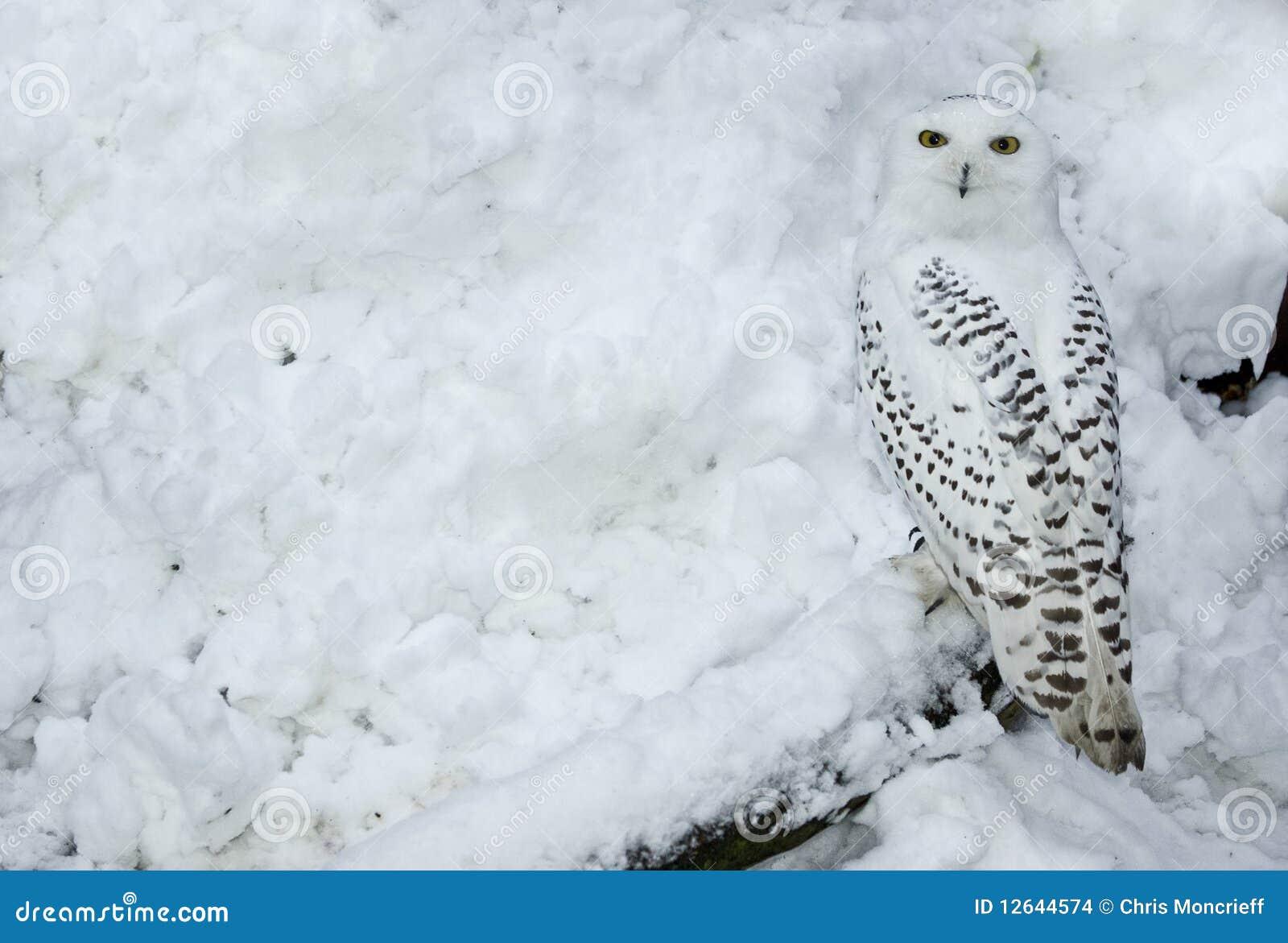 sneeuw uil in sneeuw stock foto afbeelding bestaande uit