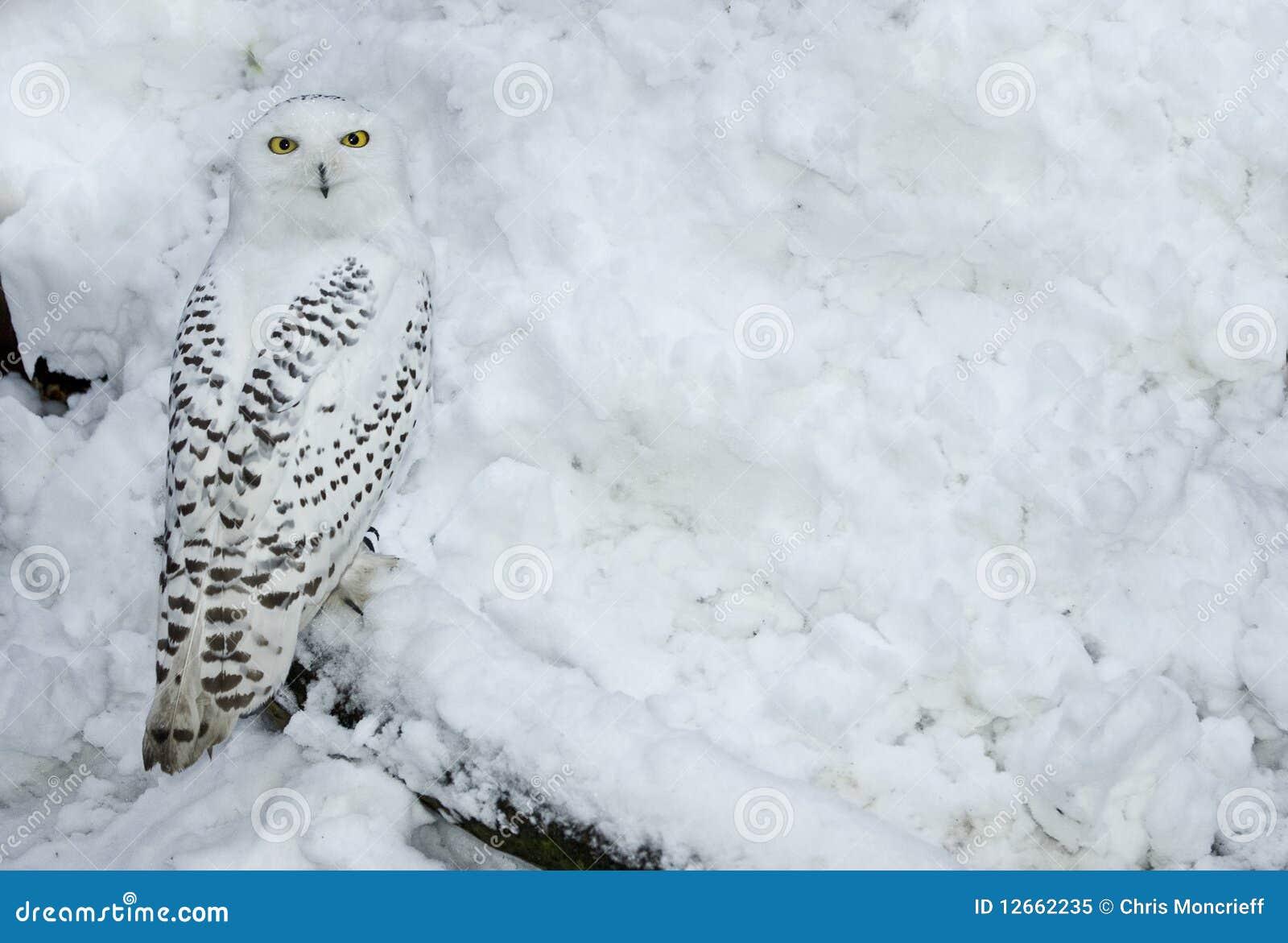 sneeuw uil in sneeuw stock afbeelding afbeelding