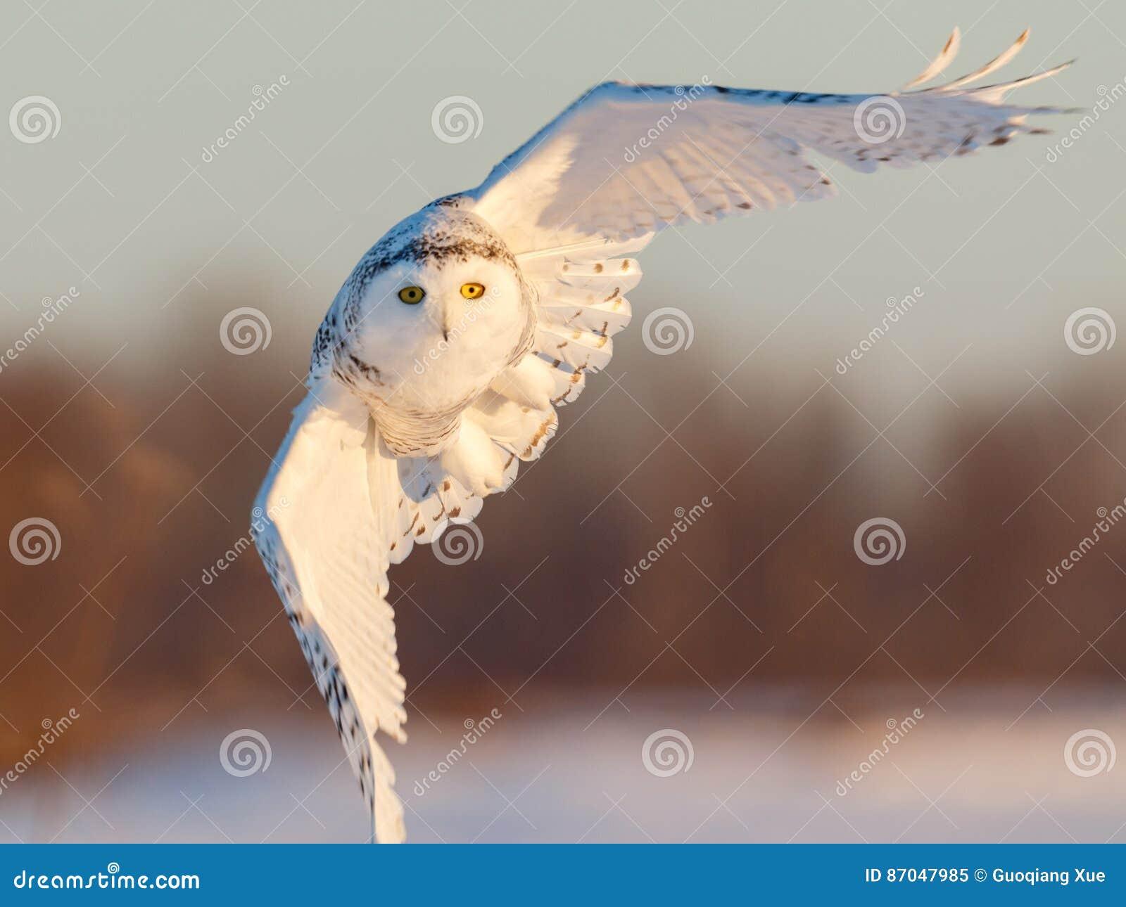 Sneeuw Uil tijdens de vlucht