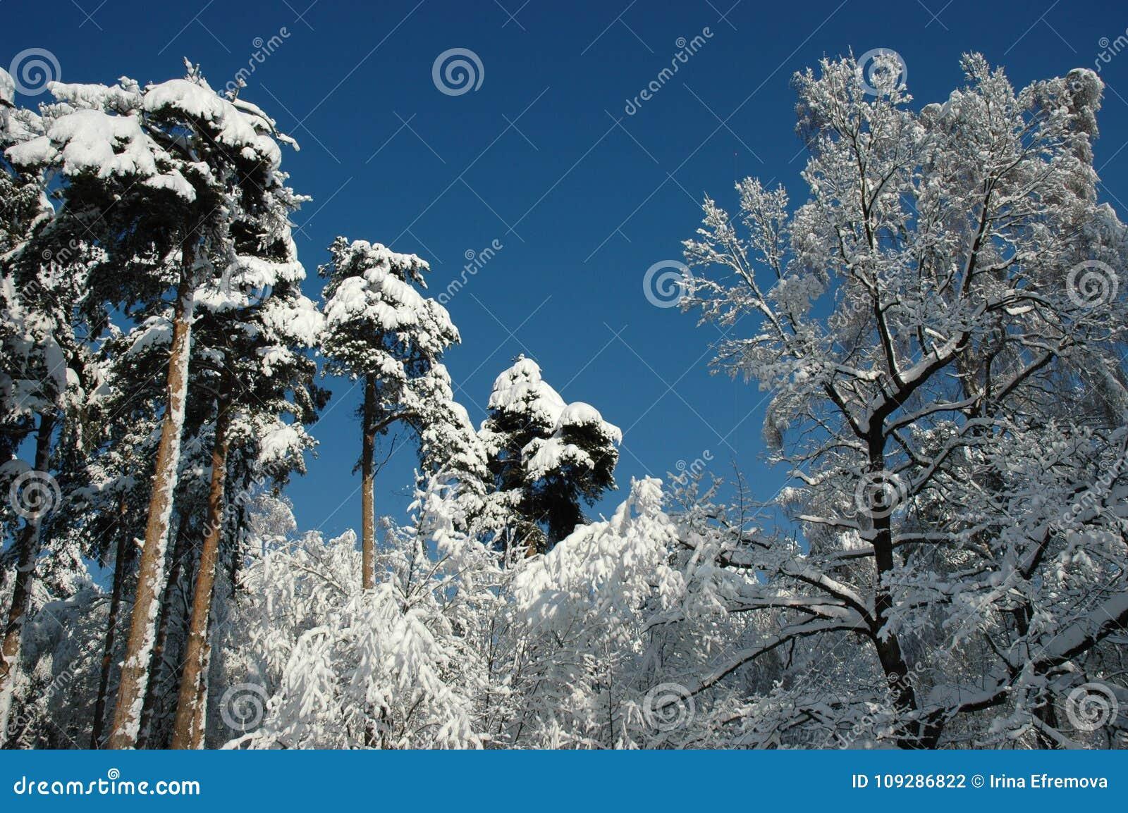 Sneeuwbomen op zonneschijn