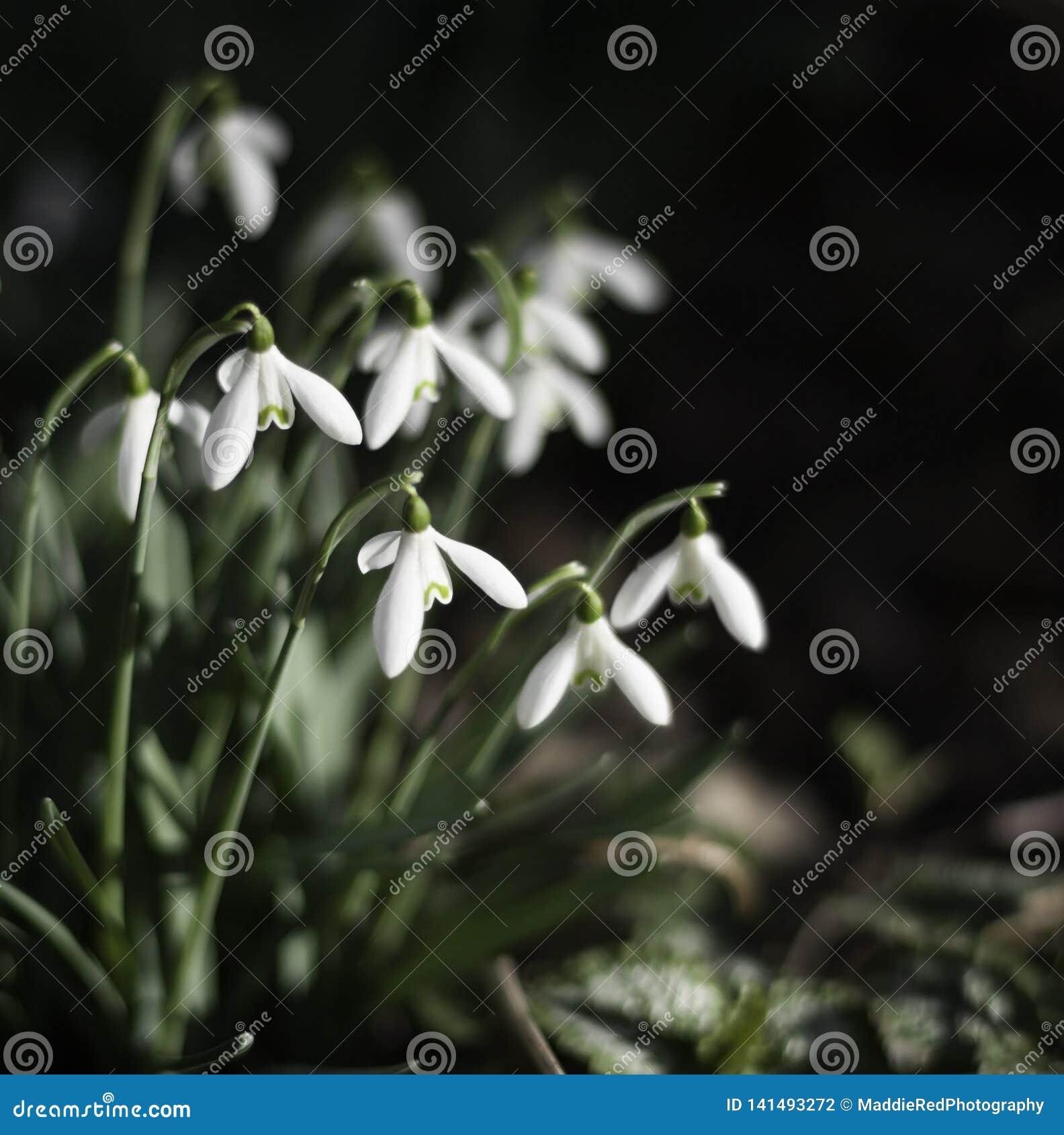 Sneeuwklokjebloemen, Galanthus-nivalis, met ondiepe velddiepte en exemplaarruimte