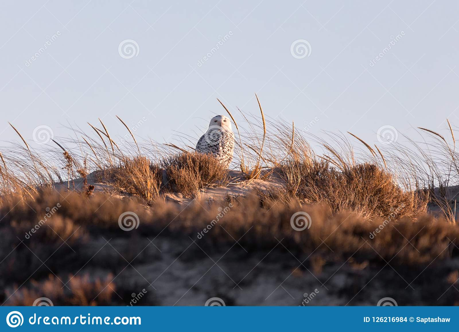 Sneeuwuil op een zandduin bij zonsondergang