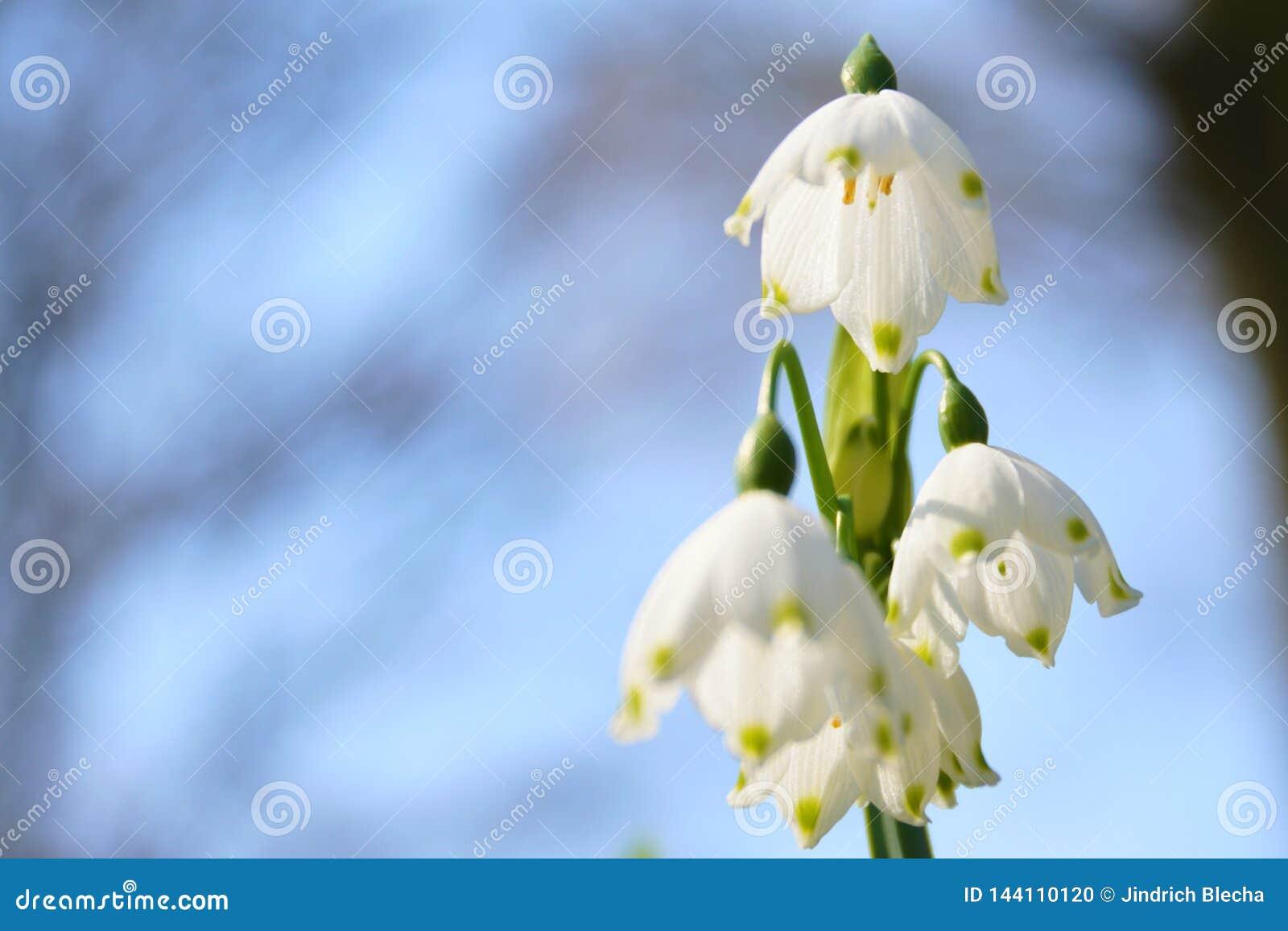 Sneeuwvlokbloem in bloesem