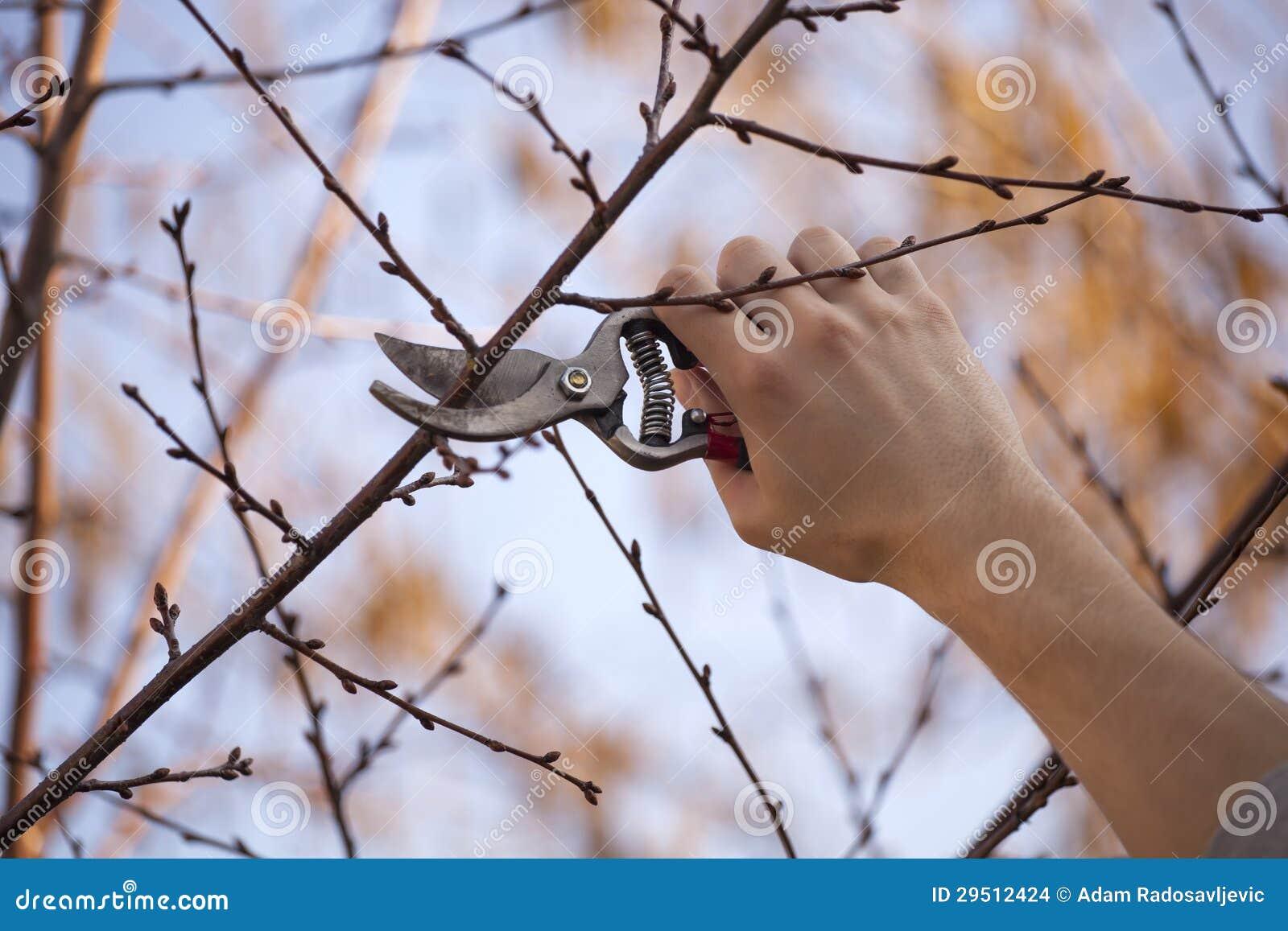 Snoeiend fruitboom - het Snijden Takken bij de lente