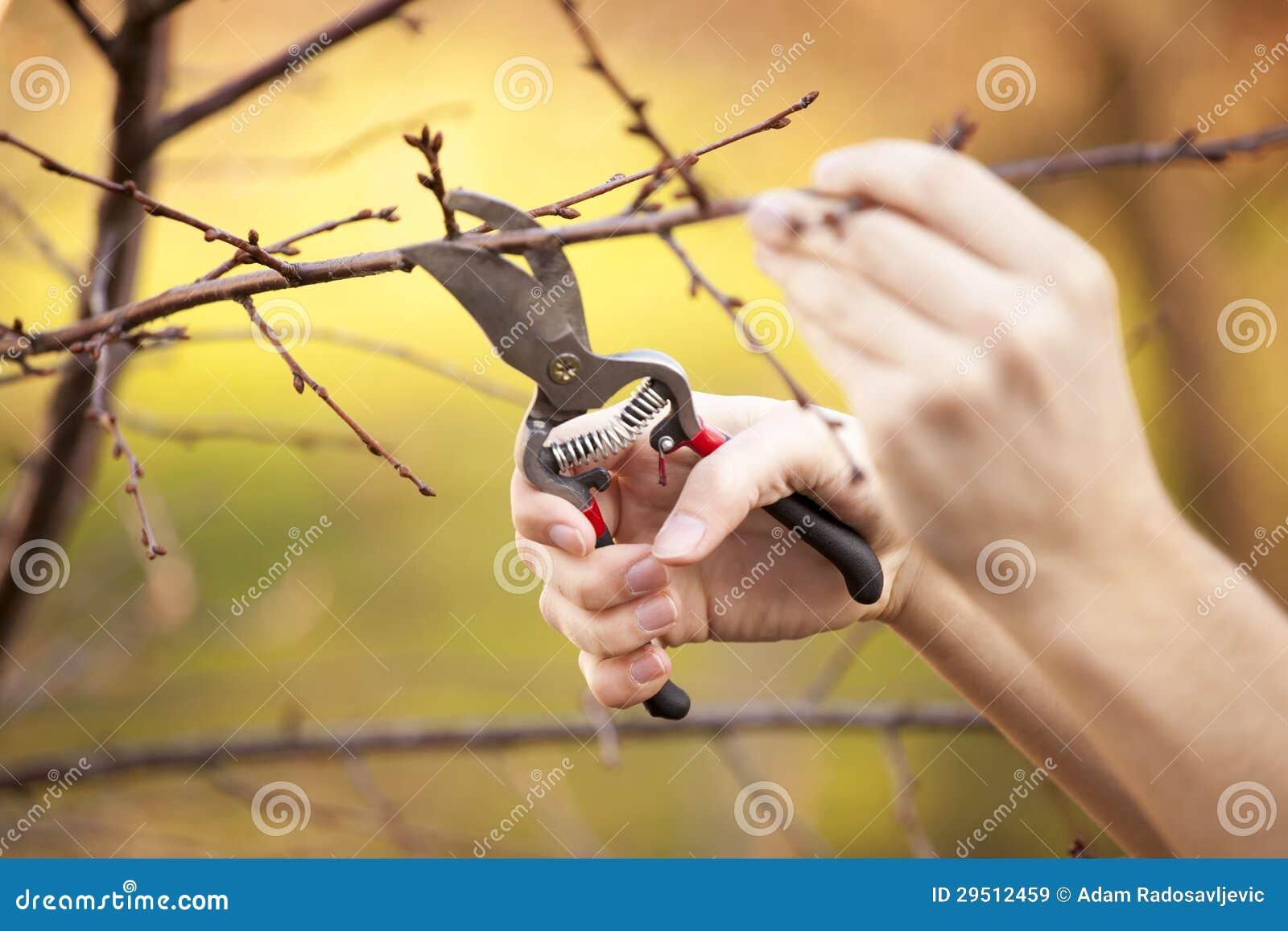 Snoeiend fruitboom - het Snijden vertakt zich bij de lente