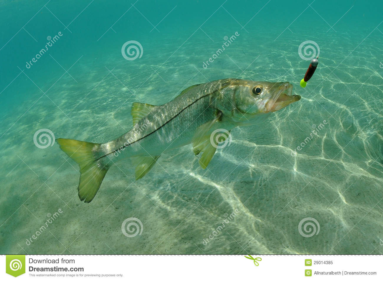 Snook in ocean chasing lure stock image image of for Snook fishing lures
