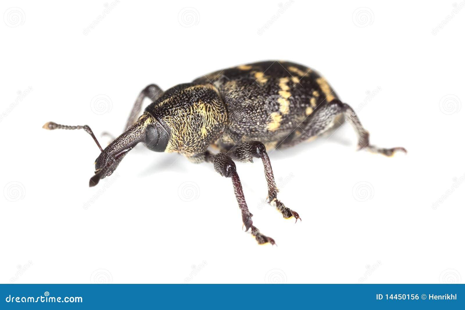 Snout beetle (Hylobius abietis)