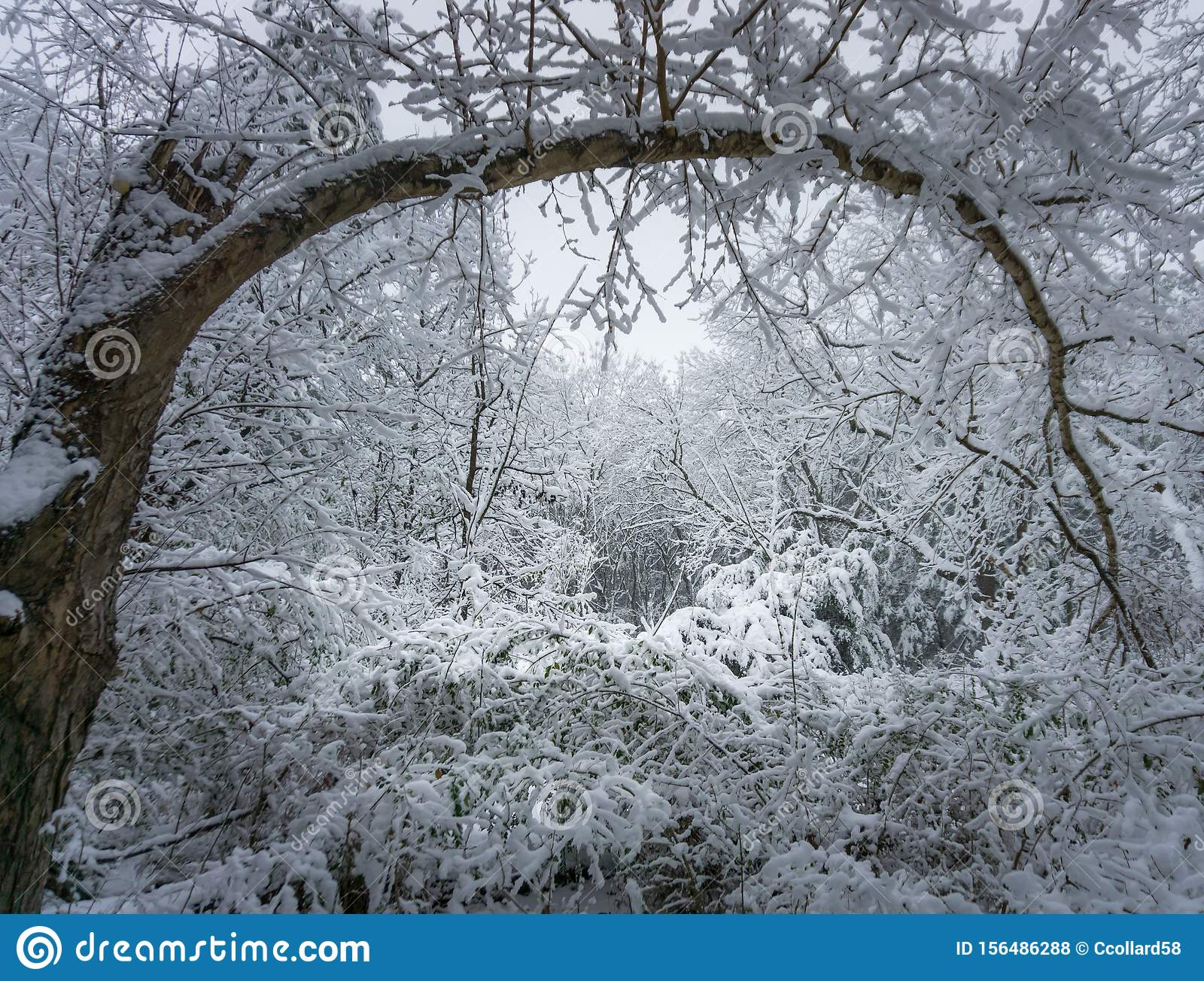 Heavy Blanket Of Snow In The Forest Stock Photo Image Of Climate Blue 156486288