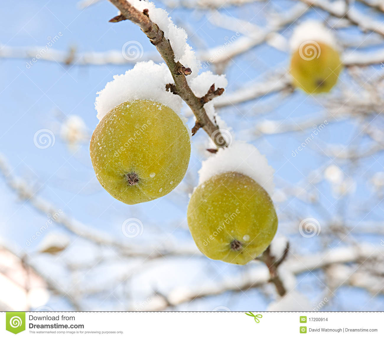 Snow capped apples.