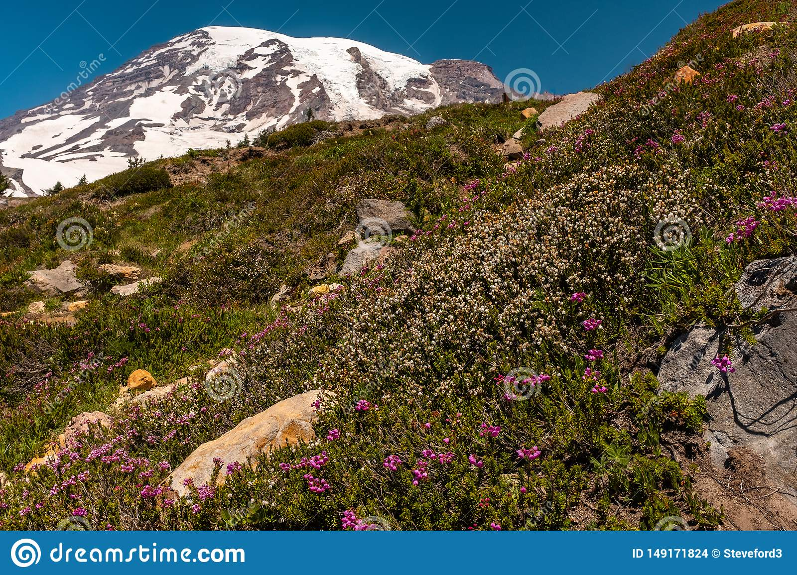 A snow capped mountain, Mount Rainier, at spring time with a field of spring wildflowers in the foreground