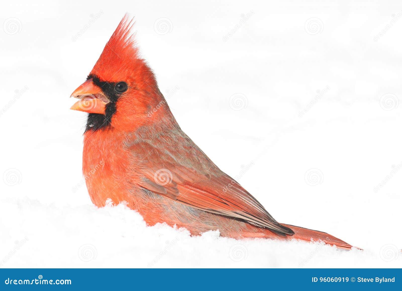 In Snow cardinal