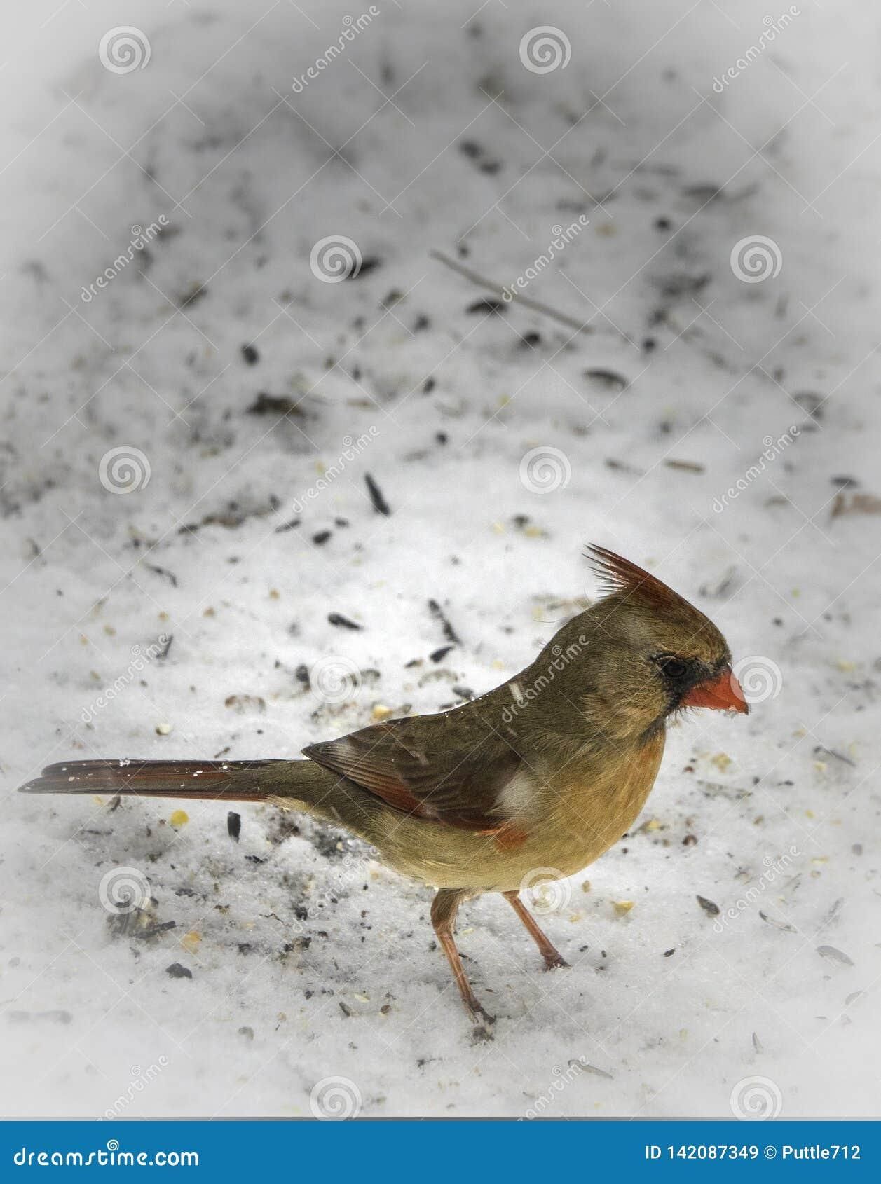 In The Snow cardinal féminin