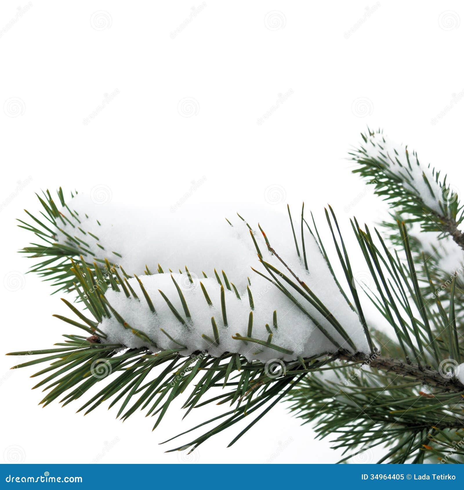 Snowy Christmas Tree Branch