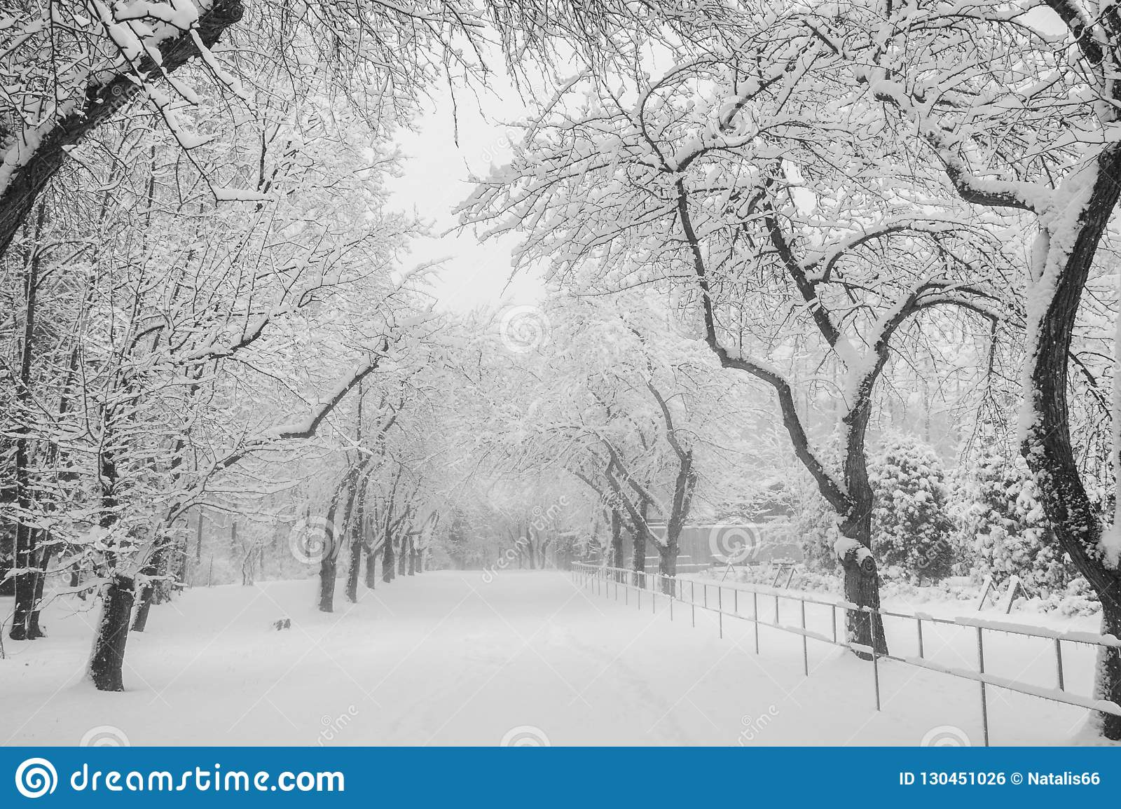 Snow covered apple alley in urban park black and white photo stock