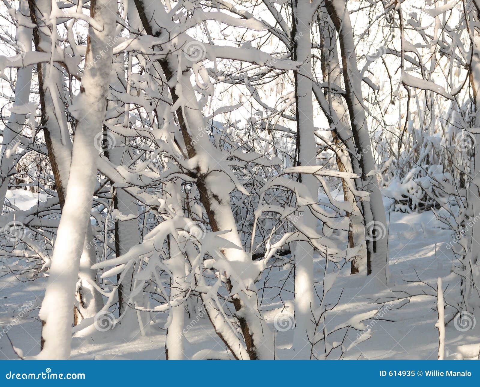 Snow-covered Bomen - 2