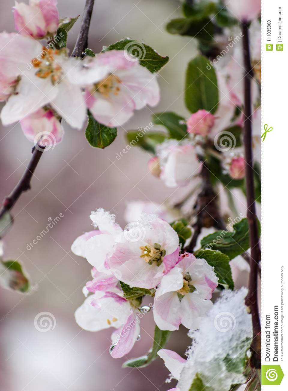 Snow Covered Crab Apple Blossoms In The Early Spring Stock Photo