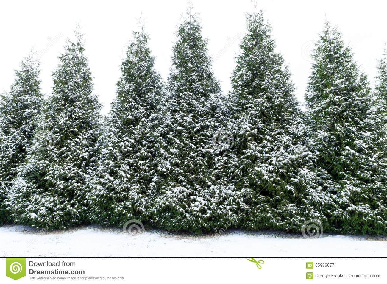 Snow Covered Evergreen Trees Stock Photo Image 65986077