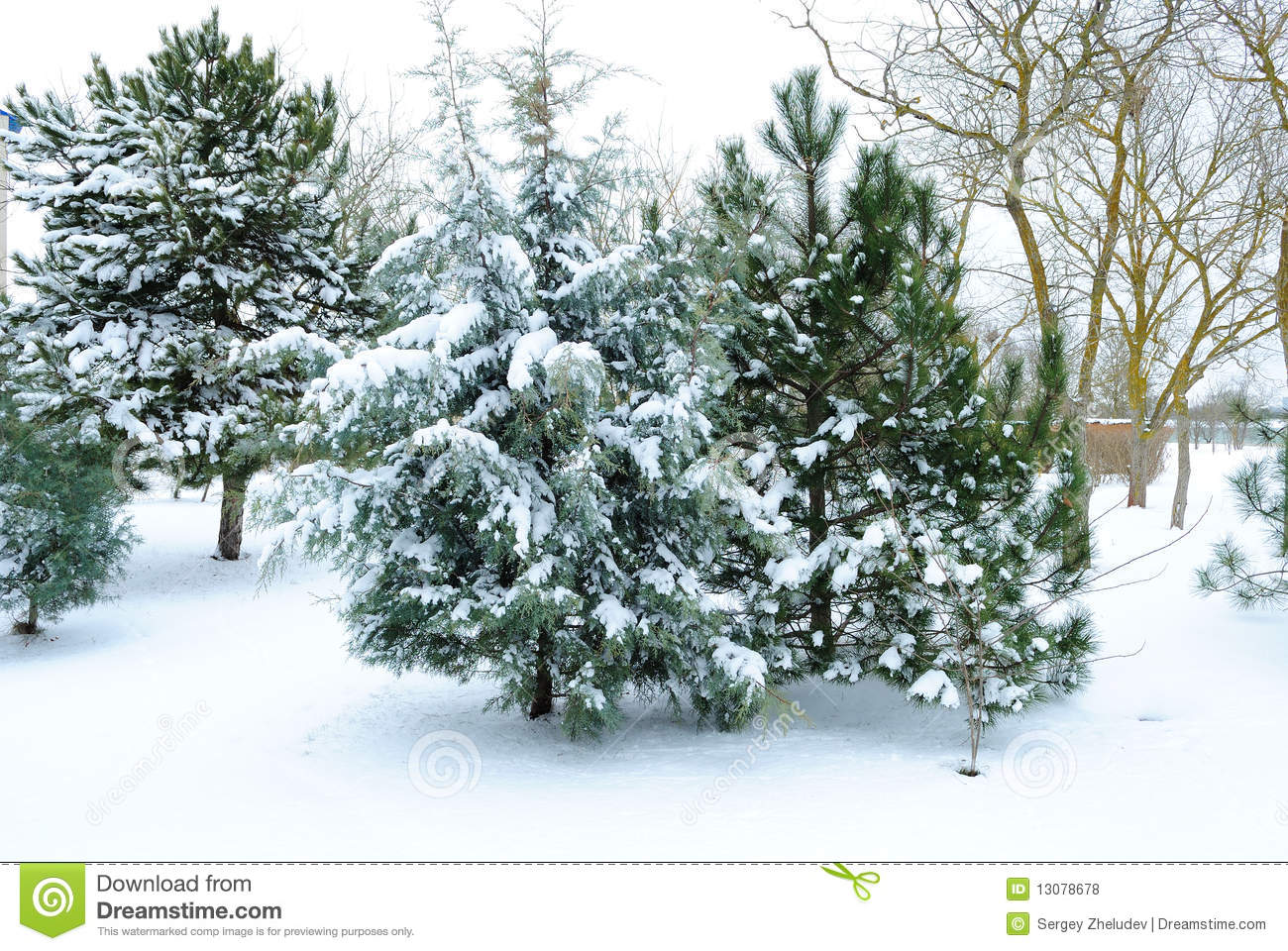 Snow Covered Fir Tree Royalty Free Stock Photos Image