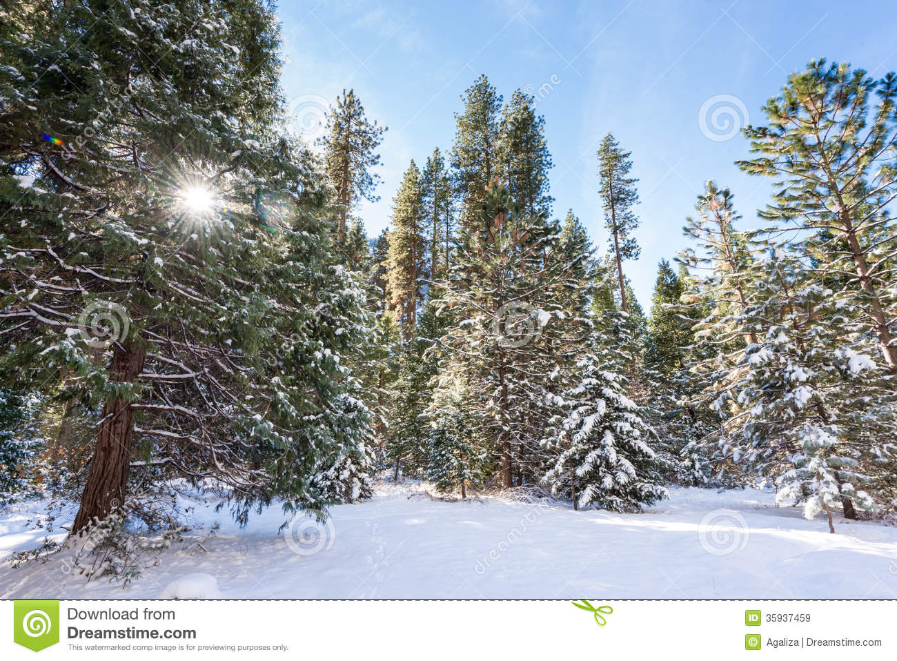 Snow Covered Firs Stock Image Image Of Snowy Landscape