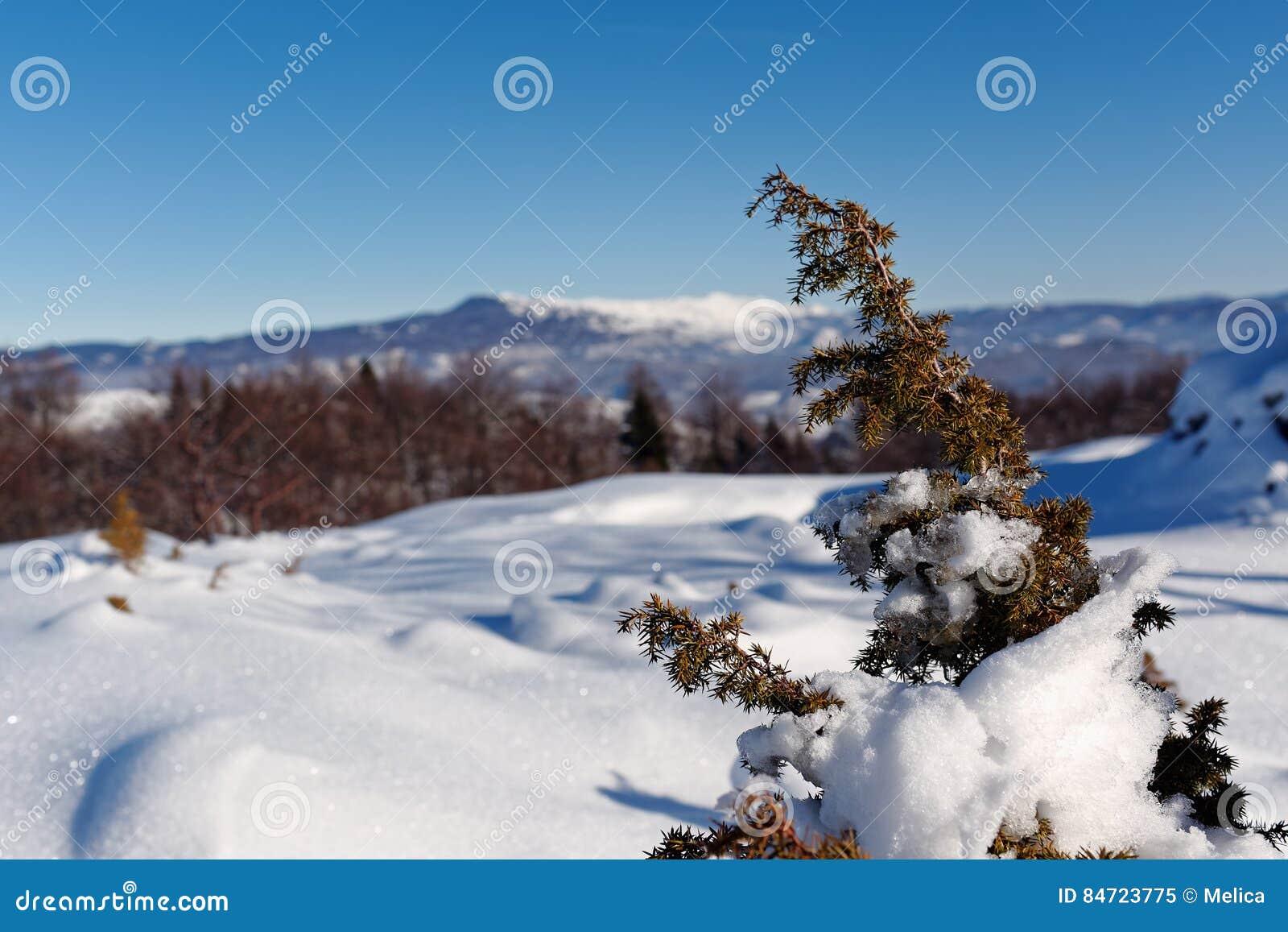Snow Covered Juniper branch in winter.