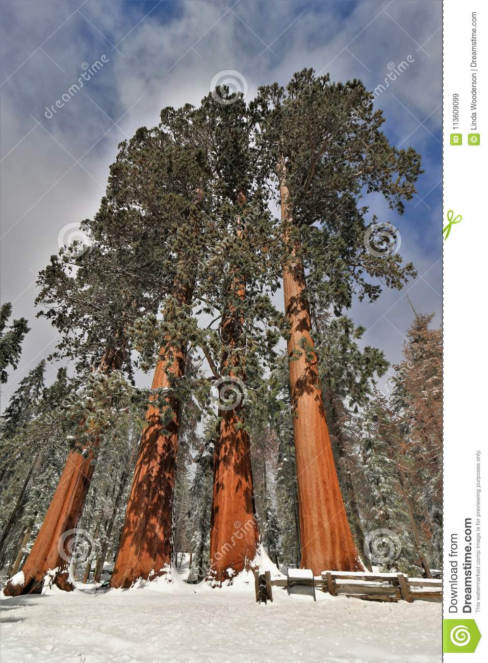 Snow covered large sequoia redwood trees called The Four Sisters in Sequoia National Park California