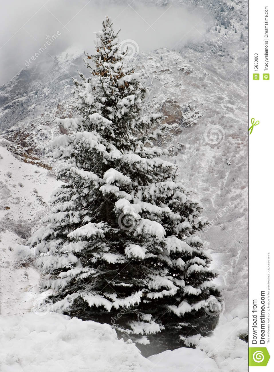 a snow covered pine tree in the mountains stock image image of