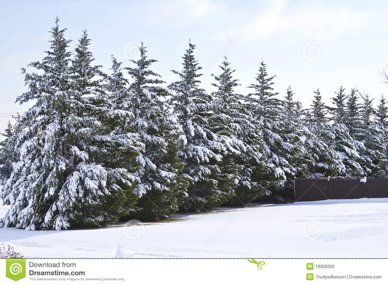 Snow covered pine trees stock image image of lineup - Images of pine trees in snow ...