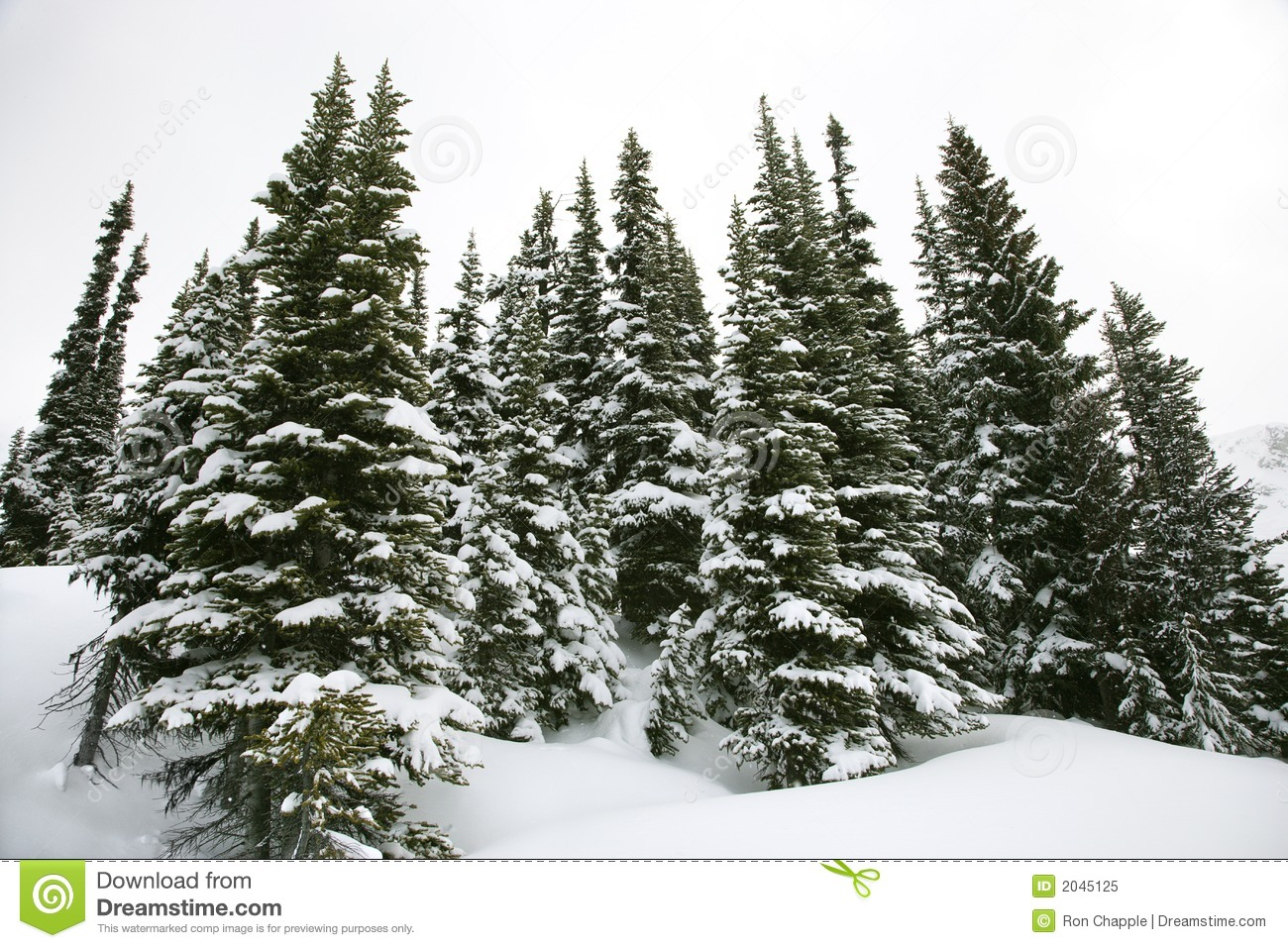 Snow covered pine trees stock image image of horizontal - Images of pine trees in snow ...