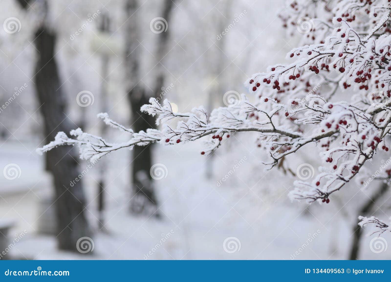 Snow-covered rowan tree