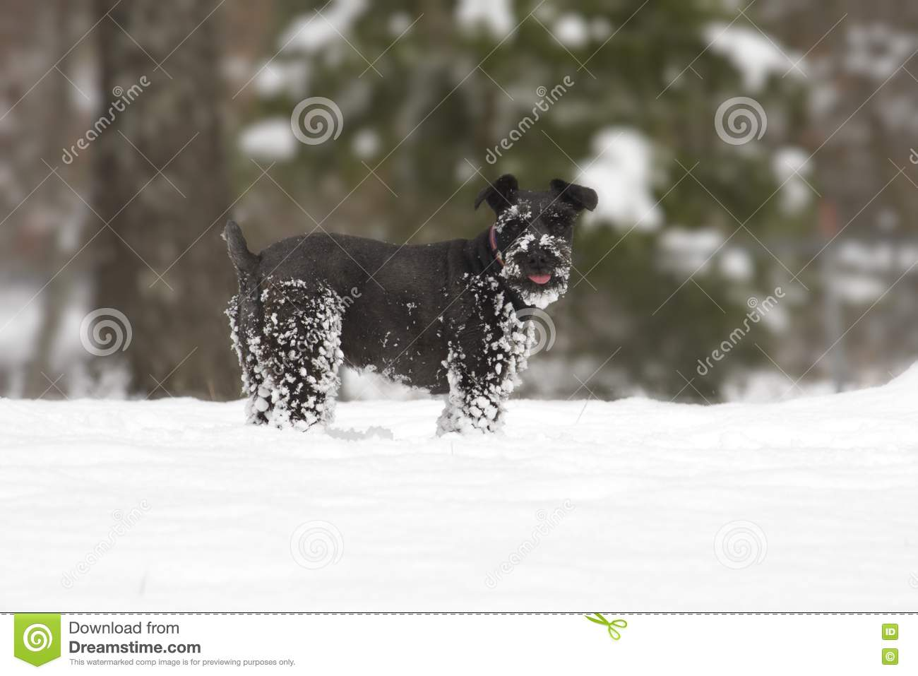 Giant Schnauzers Prices To Download Hattens Giant Schnauzers Prices