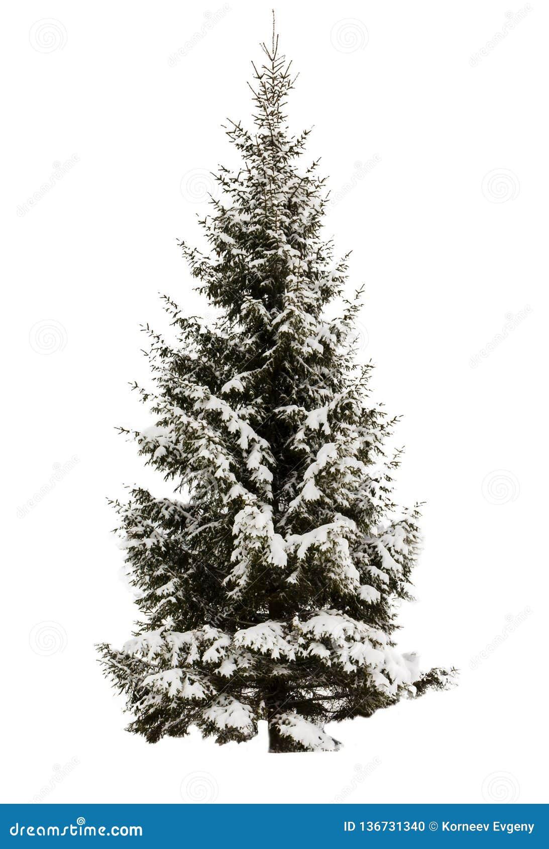 Snow-covered Sparren Geen achtergrond, geïsoleerd voorwerp altijdgroen Element voor ontwerp