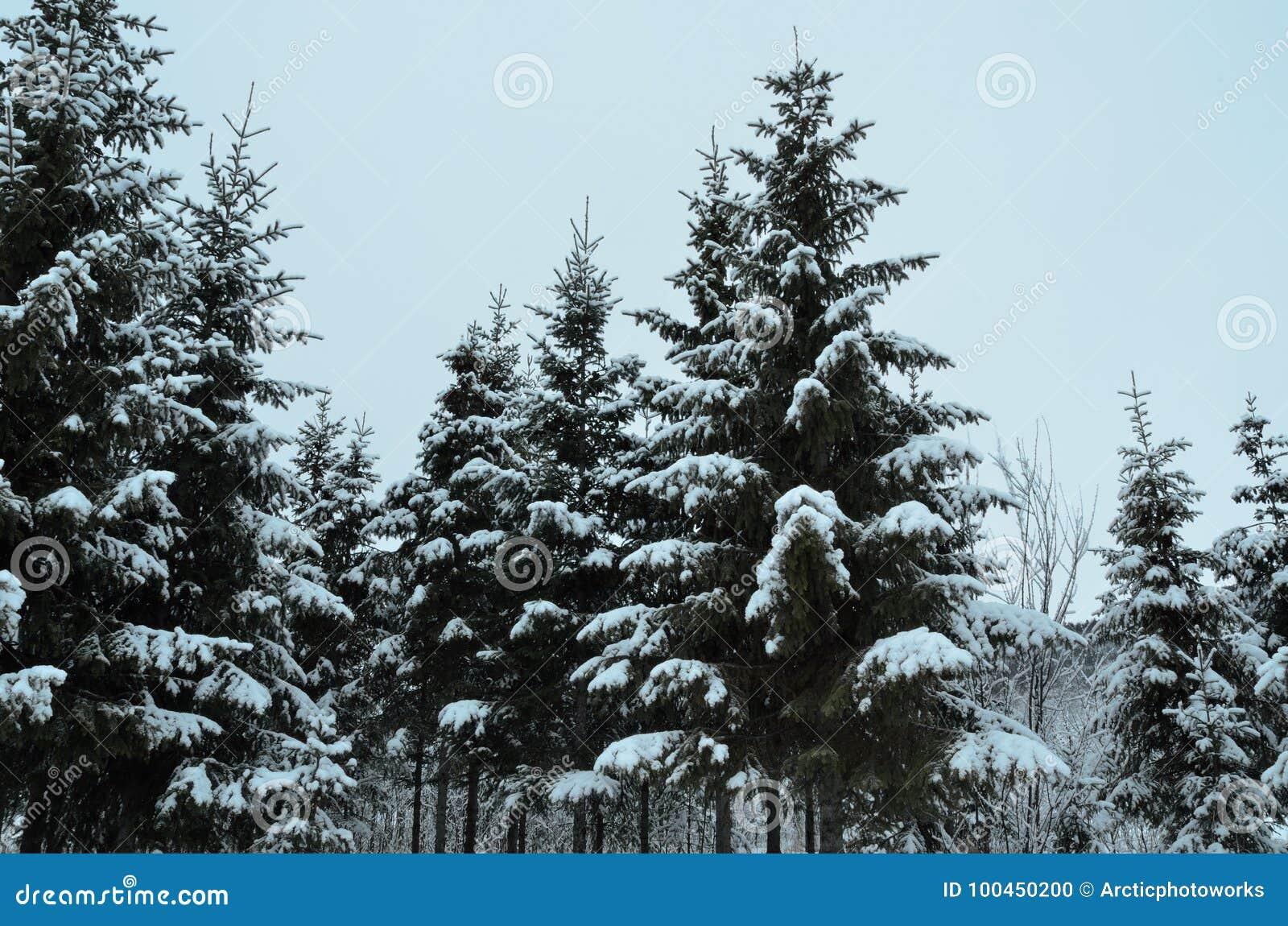 spruce tree snow - photo #43