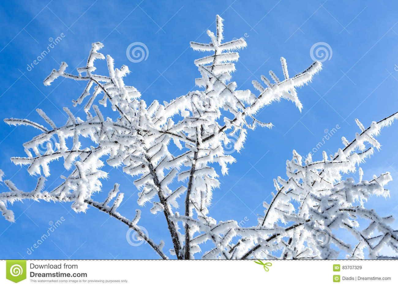 Snow Covered Tree Branch On Blue Sky Background  Winter Time Det Stock Photo