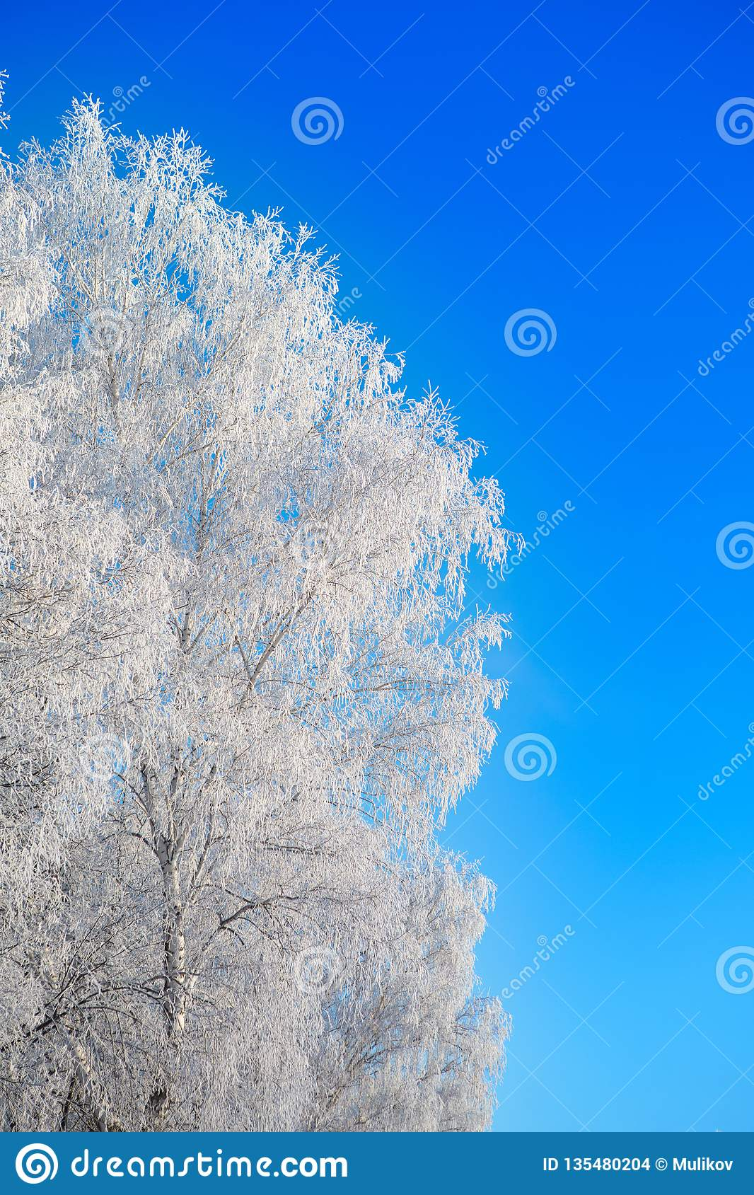 Snow covered winter birch tree tops blue sky. Winter landscape
