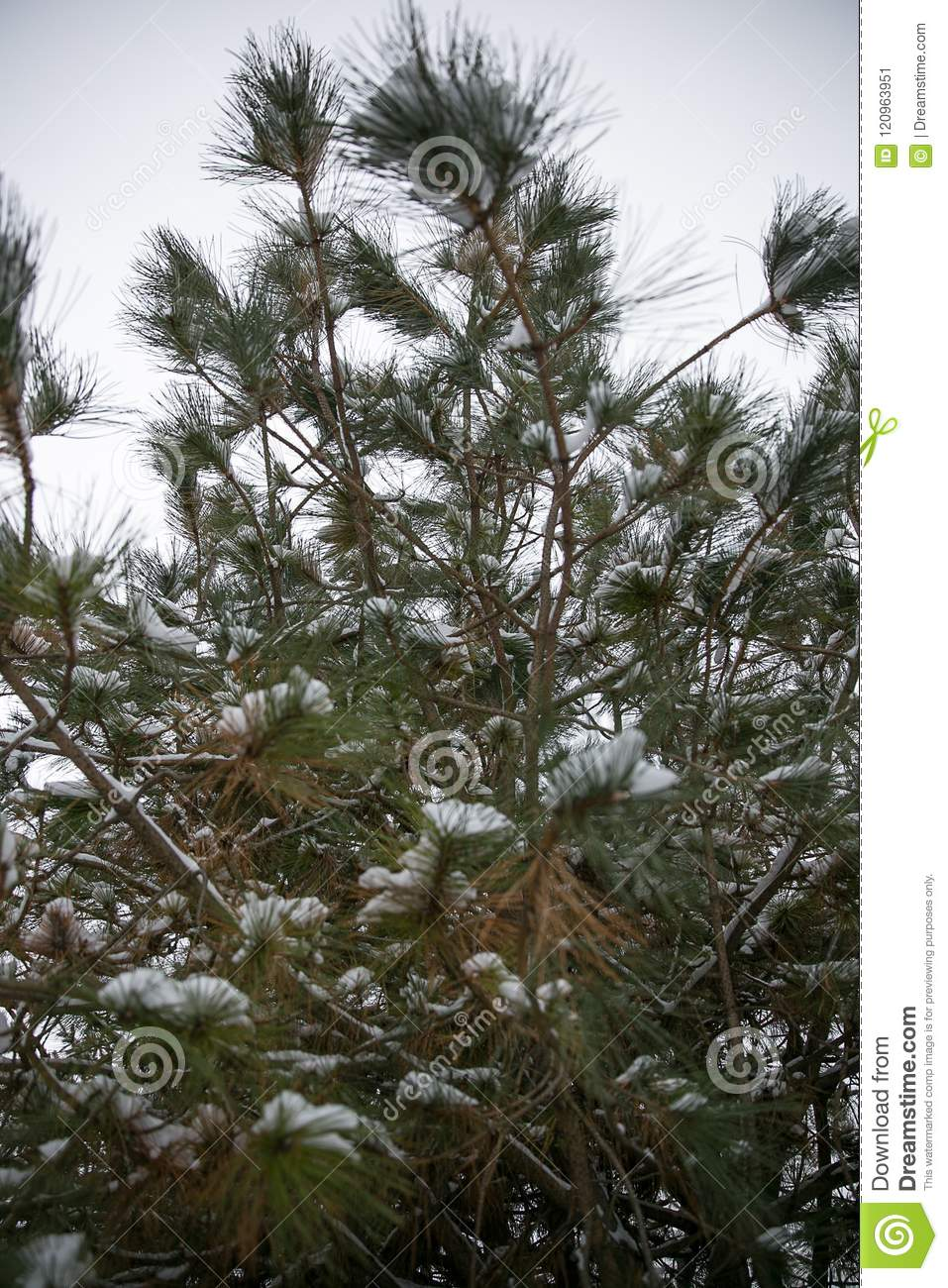 Snow Covers Pine Tree After Winter Storm Stock Image ...