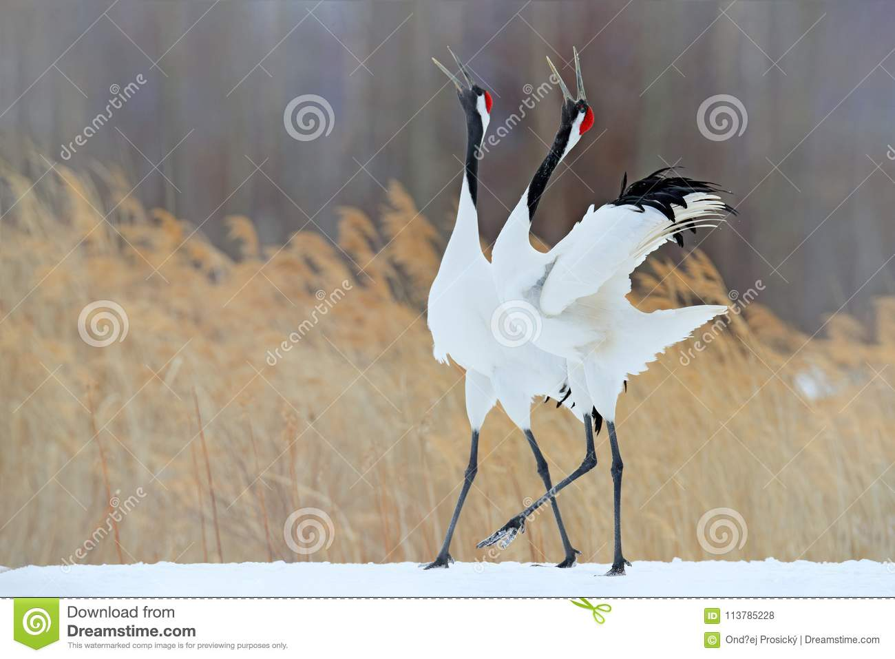 Snow dance in nature. Wildlife scene from snowy nature. Cold winter. Snowy. Snowfall two Red-crowned crane in snow meadow, with sn