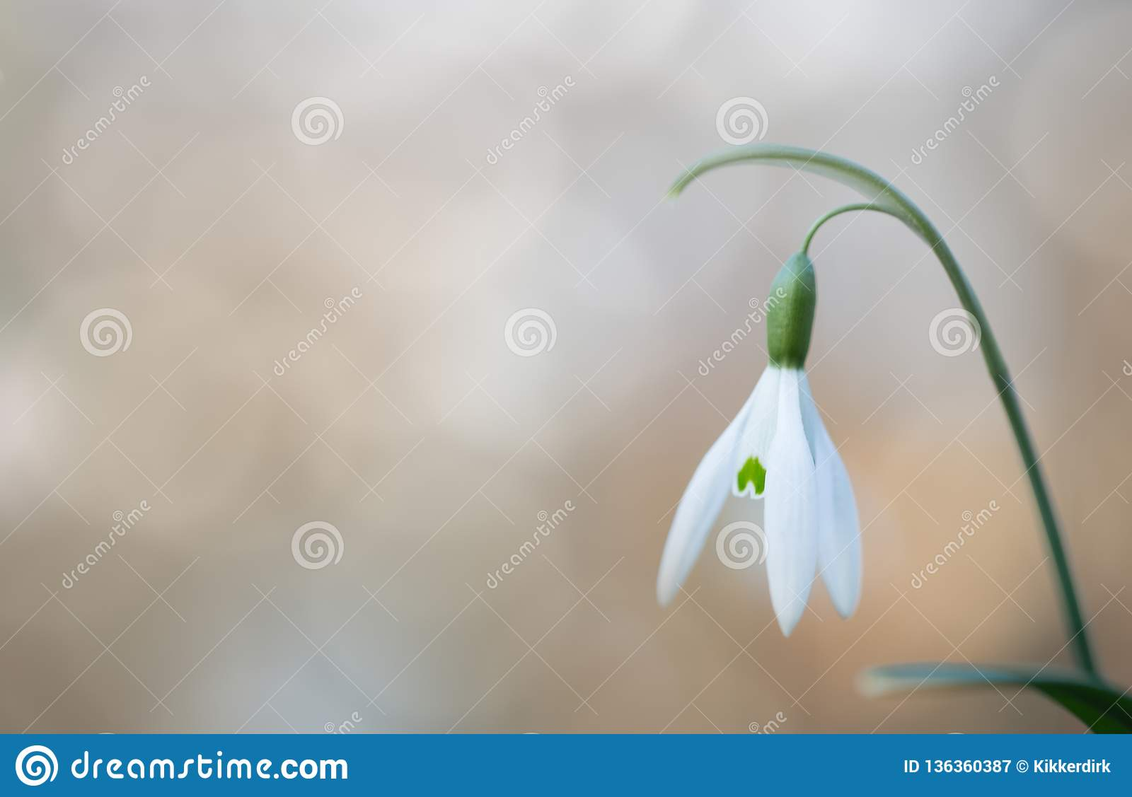 Snow drop early spring white wild flower