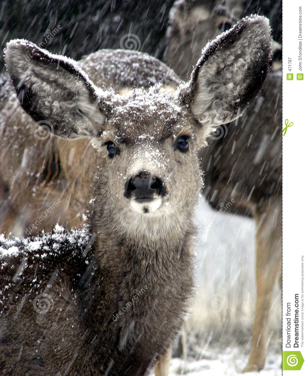 Download Snow Fawn stock image. Image of storm, deer, beauty, curiosity - 471787