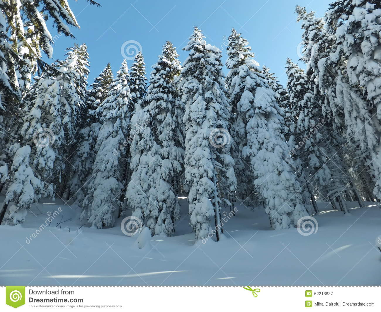 snowy fir trees forest - photo #28
