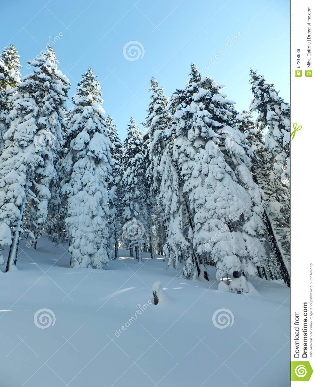 snowy fir trees forest - photo #40