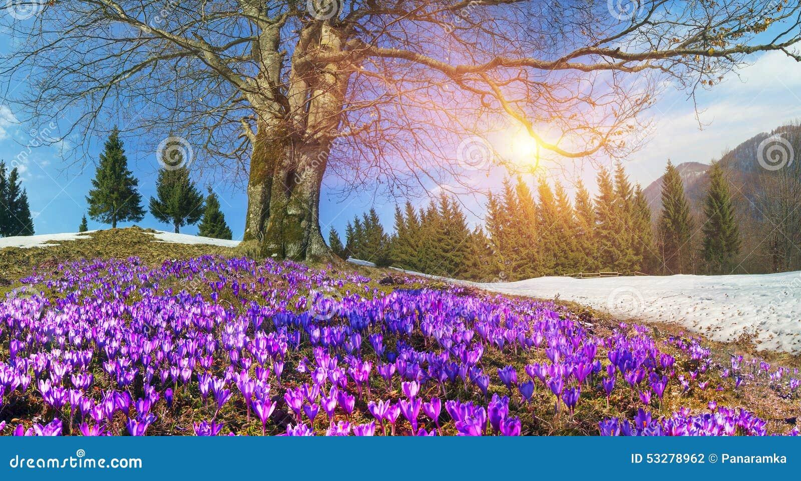 Snow flowers crocuses stock photo image of lovely 53278962 download snow flowers crocuses stock photo image of lovely 53278962 mightylinksfo