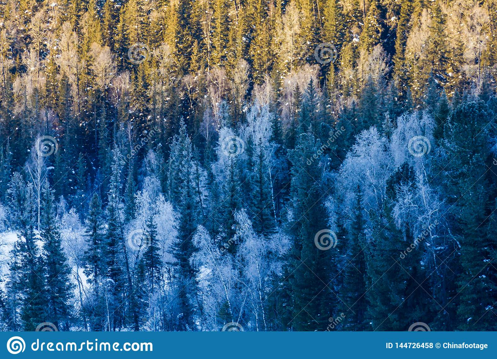 Snow Forest in Winter. The snow-covered Gongnaisi forest in winter