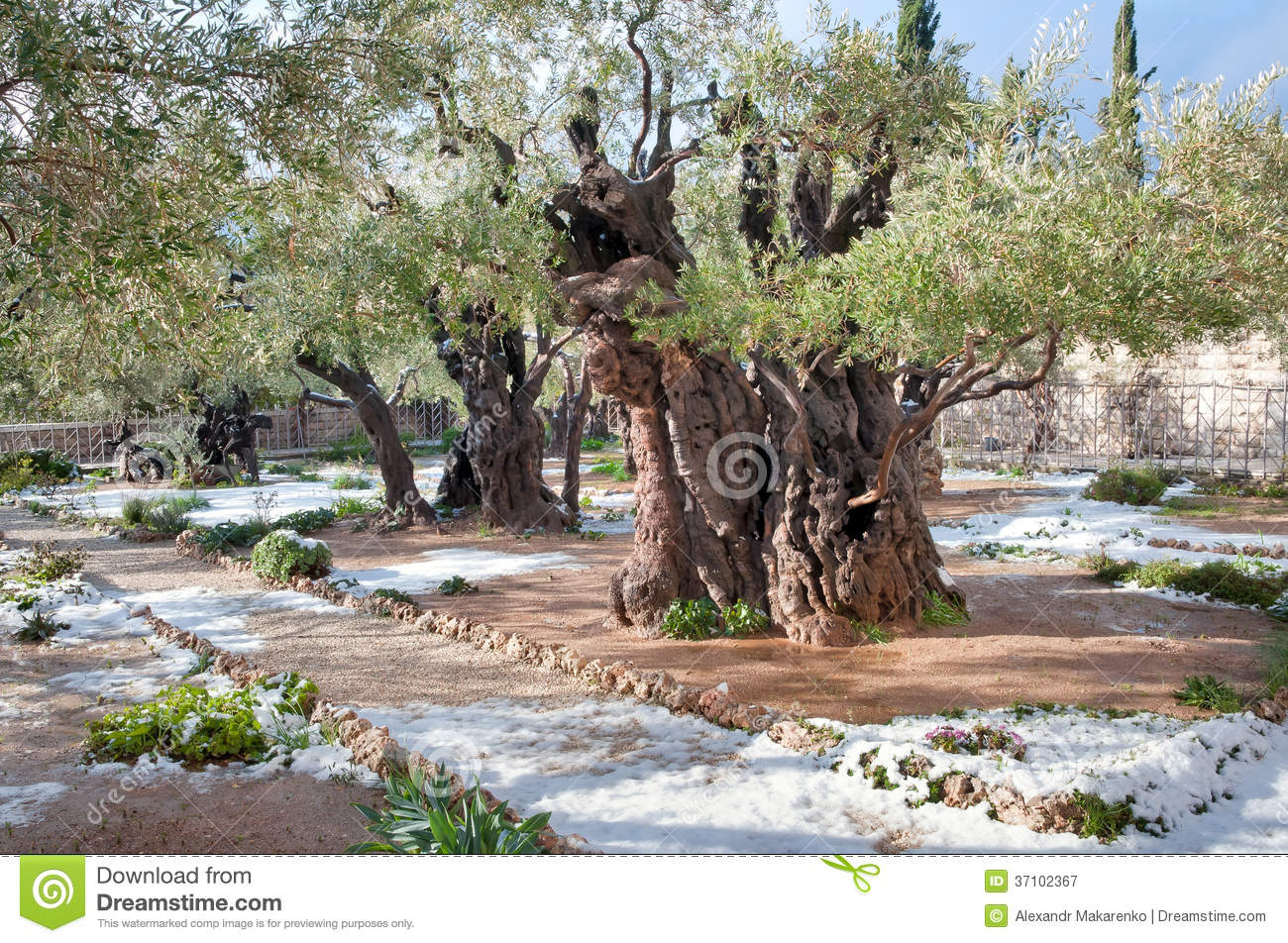 Snow in the garden of gethsemane royalty free stock for Age olive trees garden gethsemane