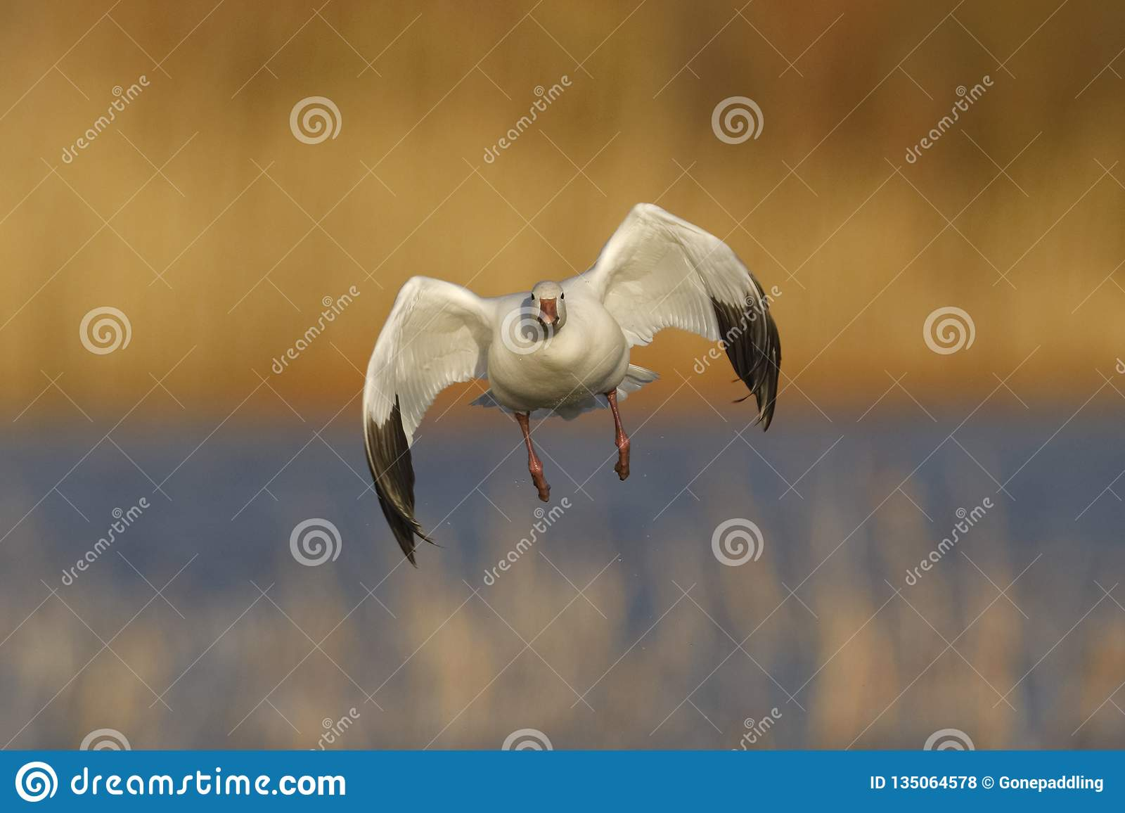 Snow Goose approaching for a landing - New Mexico