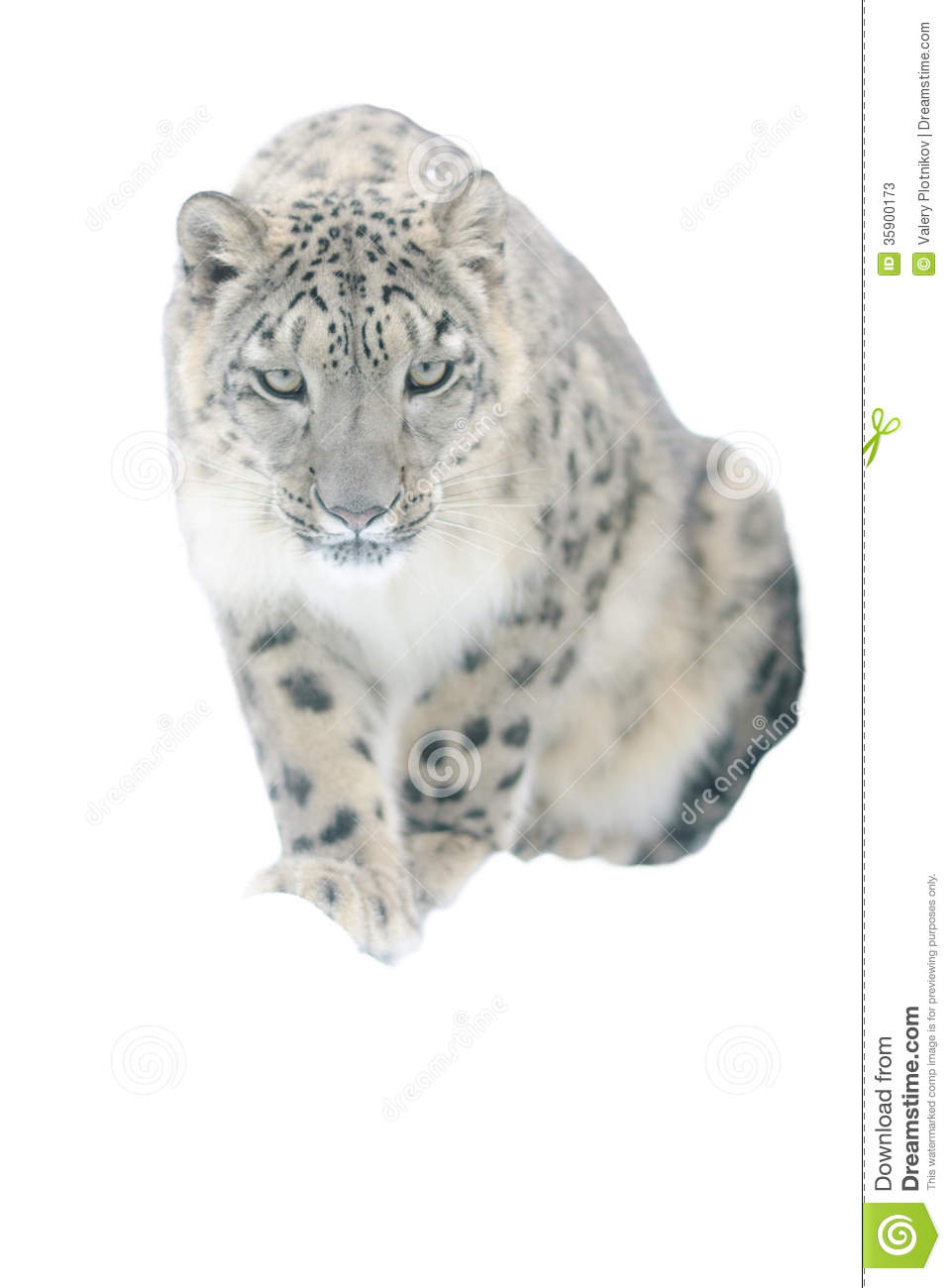 Snow Leopard Isolated On White Background Stock Photos - Image ...